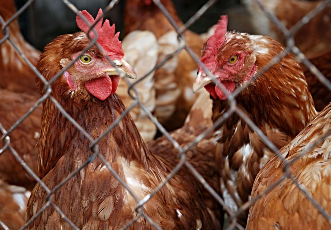 Los huevos holandeses infectados con insecticida llegan ya a 13 países, según FACUA