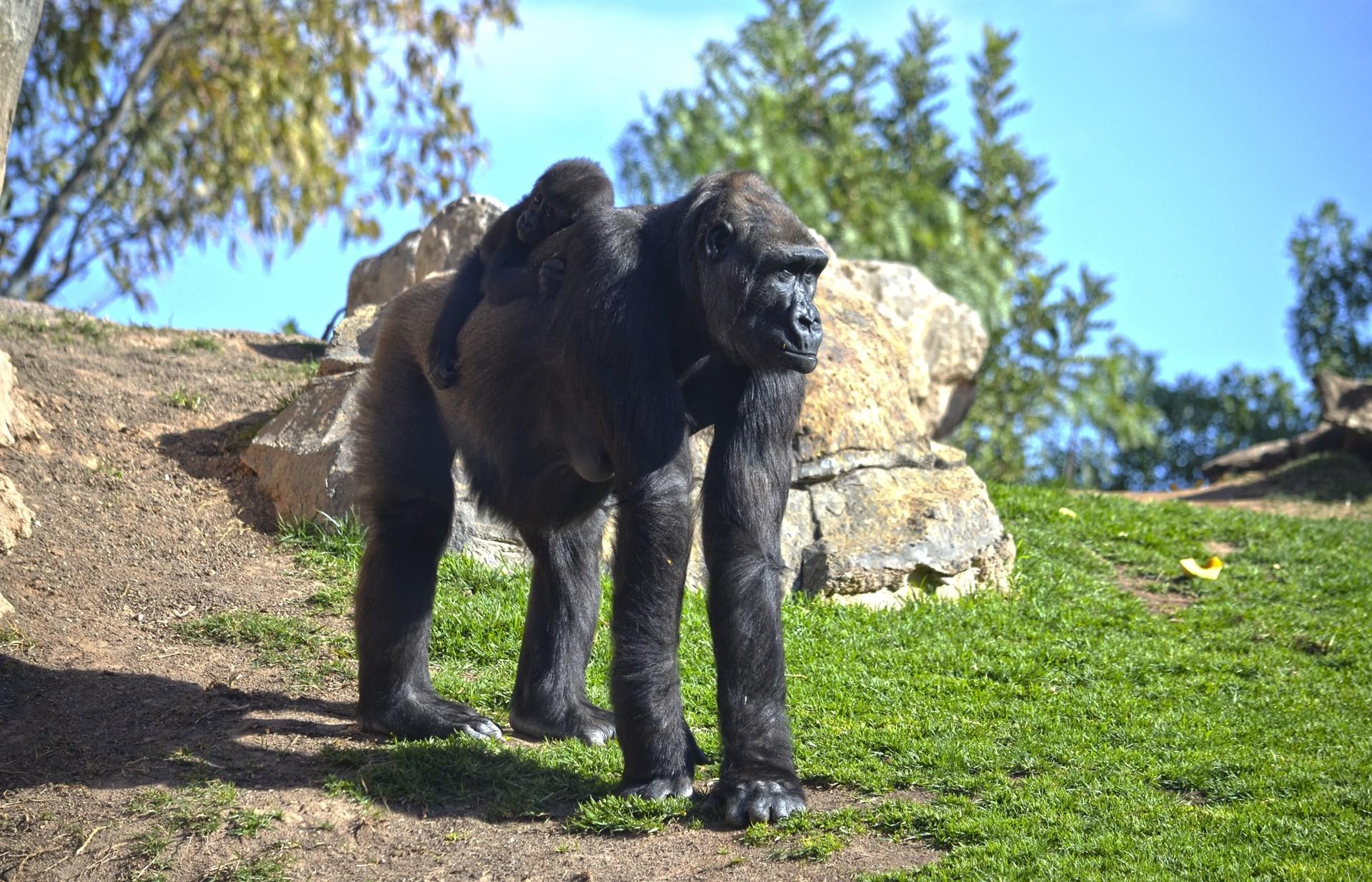 Bioparc celebra este fin de semana su 10º aniversario con espectáculos y sorpresas para visitantes y animales