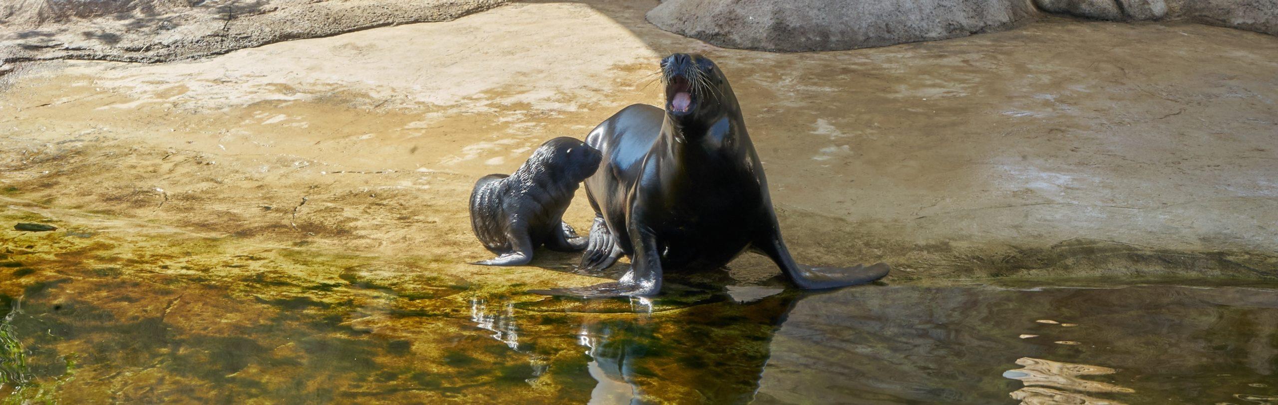 El Oceanogràfic presenta a Aslan, una cría de león marino