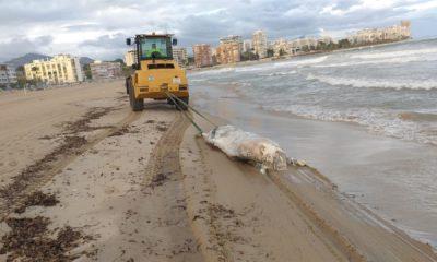 Aparece muerta una vaca en la orilla de una playa valenciana
